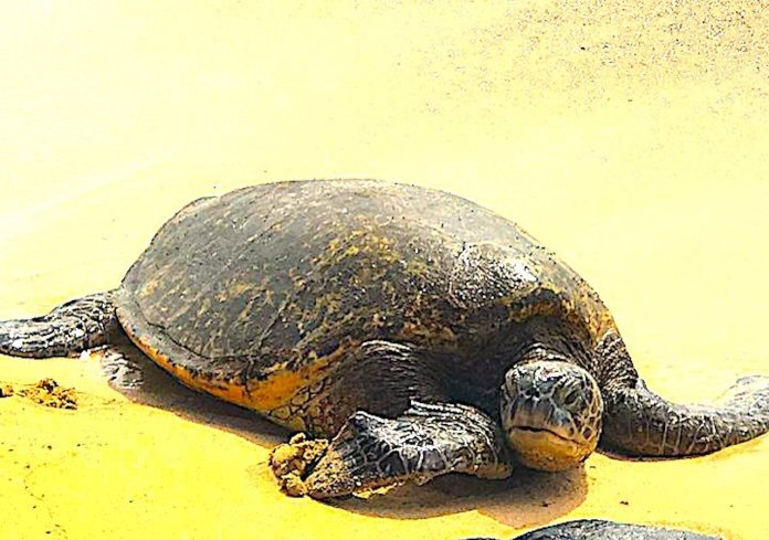North Shore Oahu Tipp - Schildkröten Strand am North Shore
