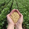 monsanto gmo seeds in the hand of a monsanto worker over one of their soybean fields