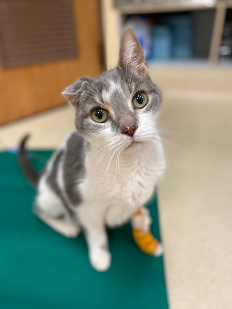 Lost Cat Found: Sushi at the Vet