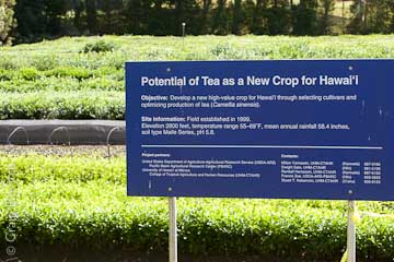 The University of Hawai'i is working on developing tea as a commercial crop in Hawai'i.