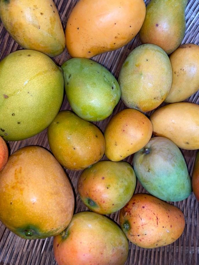 ハワイ島コナはマンゴの季節。