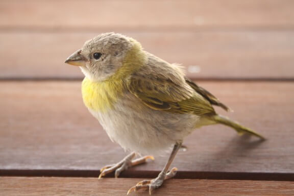 The Ultimate Guide to Birding on Kauai featured by top Hawaii travel blog, Hawaii Travel with Kids: You can find all kinds of birds on Kauai