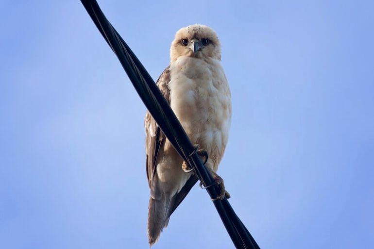 You can see Pueo (aka Hawaiian owls) like this when birding on Kauai