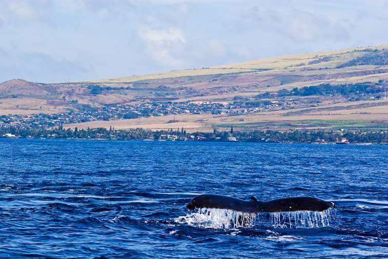 Maui is known for their amazing whale watching boat tours that leave from Lahaina
