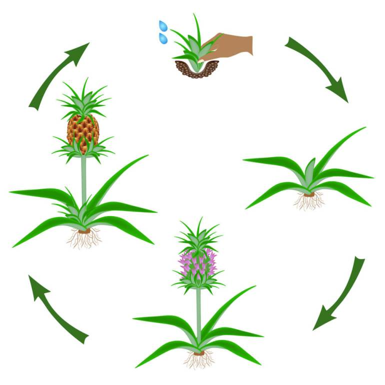 Pineapple Facts for Kids + FREE Printable featured by top Hawaii blog, Hawaii Travel with Kids: Pineapple life cycle