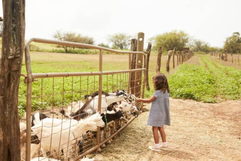 Visiting Surfing Goat Dairy is one of the top things to do in Maui with toddlers. Image of a girl feeding goats.