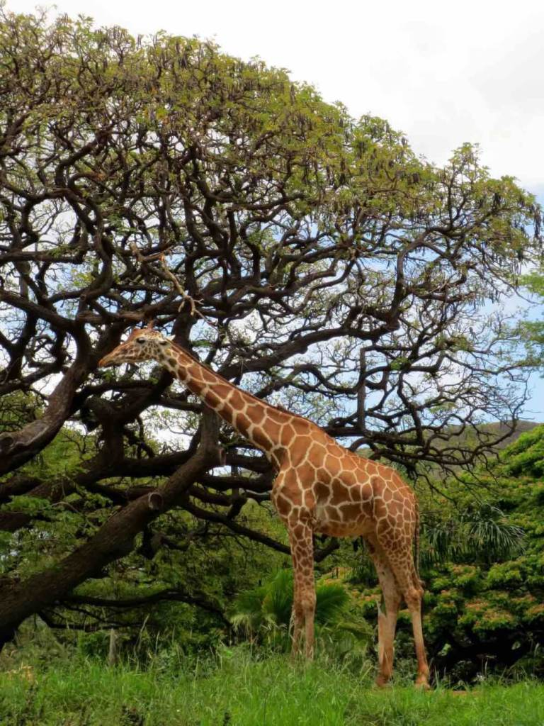 The Honolulu Zoo is one of the best Honolulu Hawaii tourist attractions for kids. Image of a giraffe at the Honolulu Zoo.