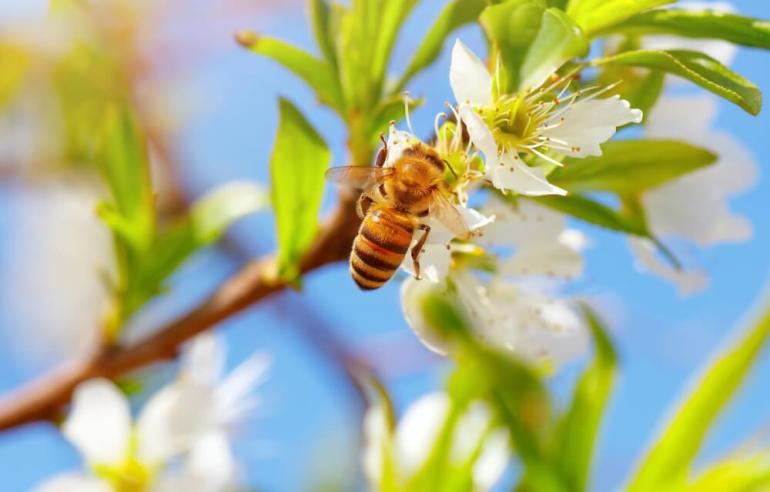 One of the most unique things to do in Hawaii is visit a bee farm. Image of a honey bee next to flowers.