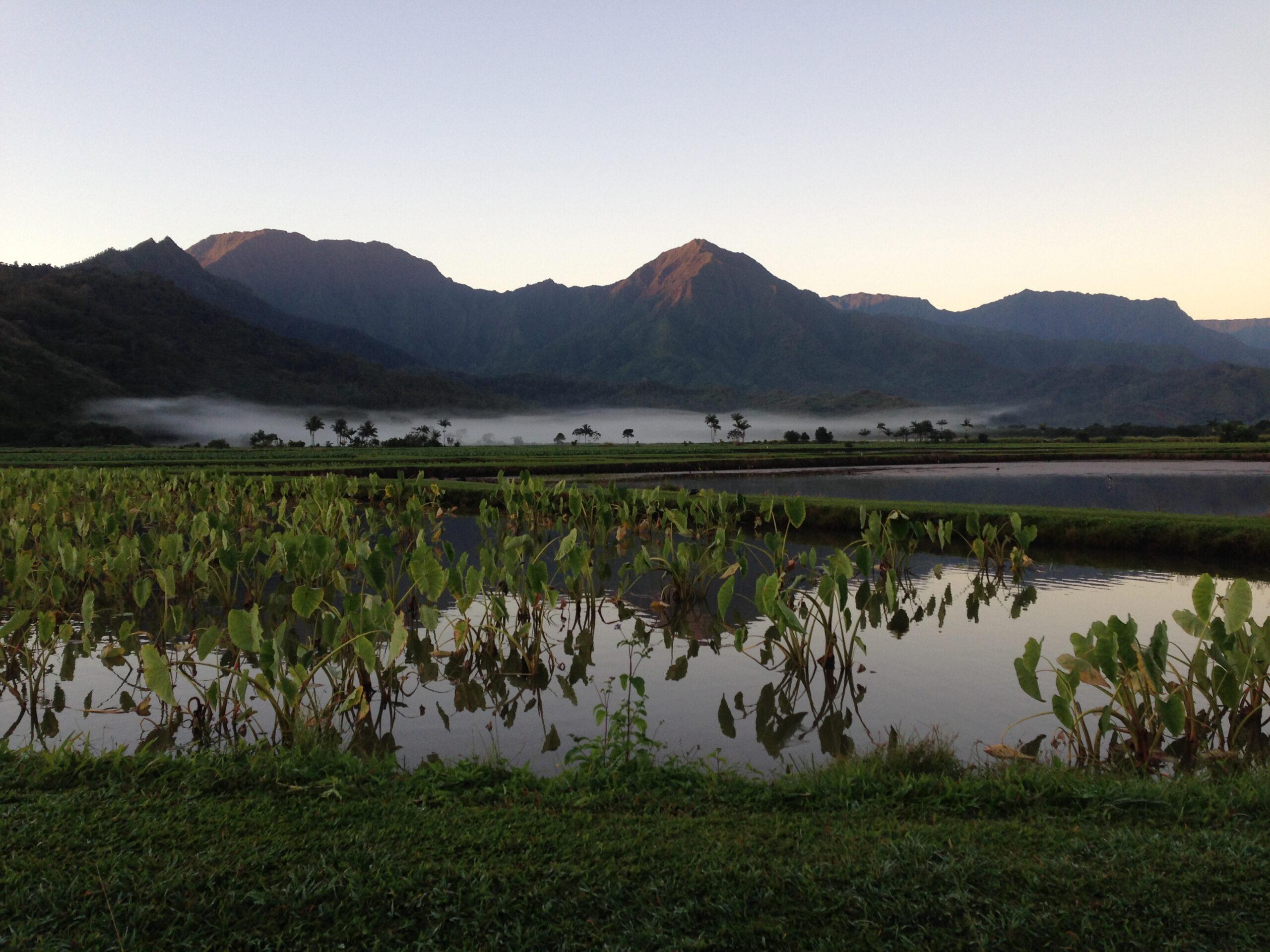 View of the taro fields in the Hanalei valley of Kauai