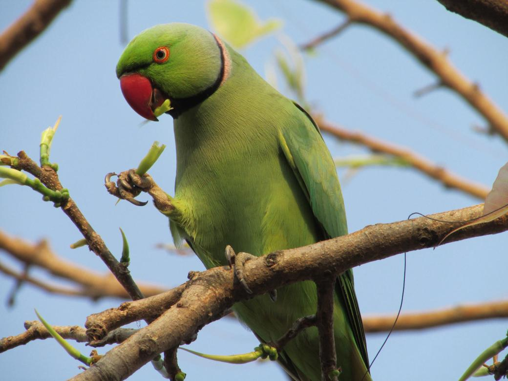 Rose-Ringed Parakeet eats sprouts of trees