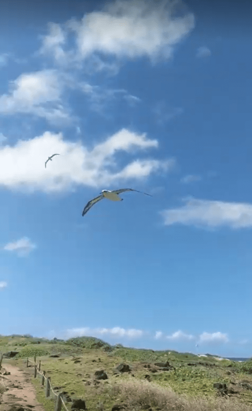 Albatross in flight at the end of the Kaʻena point hike