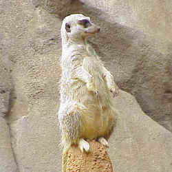 Hulu the Meerkat