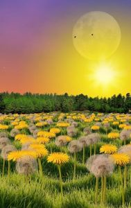Field of dandelions in the sun
