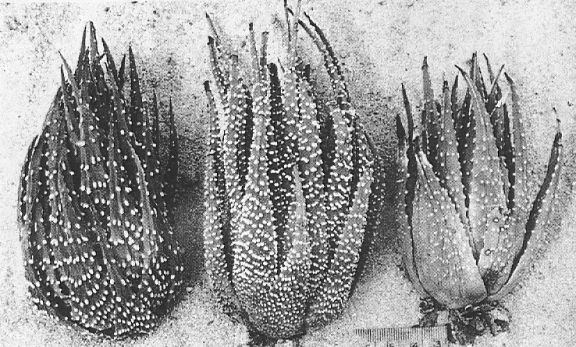 "Fig. 3. Left: H. margaritifera (L.) Haw., 8 m. SE of Drew.  Centre: 'H. poellnitziana' 3 m. N.W. of Drew.  Right: ""H. poellnitziana""  from the type locality at Drew.  Note keel at leaf tips, typical of H. margaritifera x marginata hybrids."