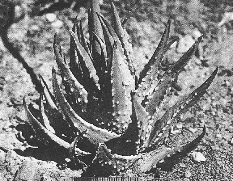 """Fig. 6. """"H. semiglabrata"""" Haw., a field hybrid H. margaritifera x marginata collected N. of Ashton."""