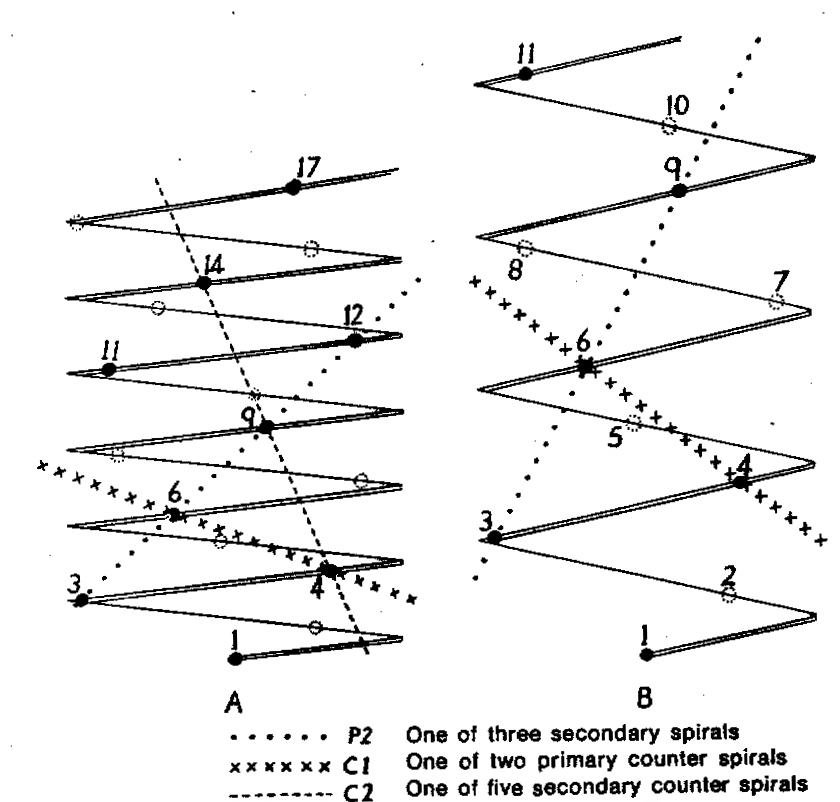 Diagram 1. Diagram showing the different angles of the leaf spirals in (A) H. reinwardtii where the low angle of the secondary counter spiral approximates that of the primary spiral in (B) H. coarctata.