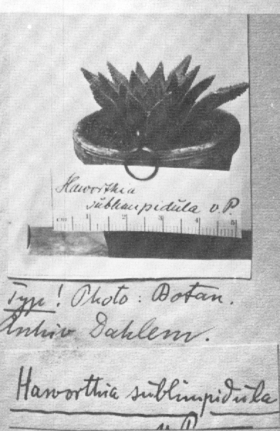 Fig. 3 Haworthia sublimpidula VPoeIln. a copy of the pictotype in the Berlin-Dahlem Herbarium.