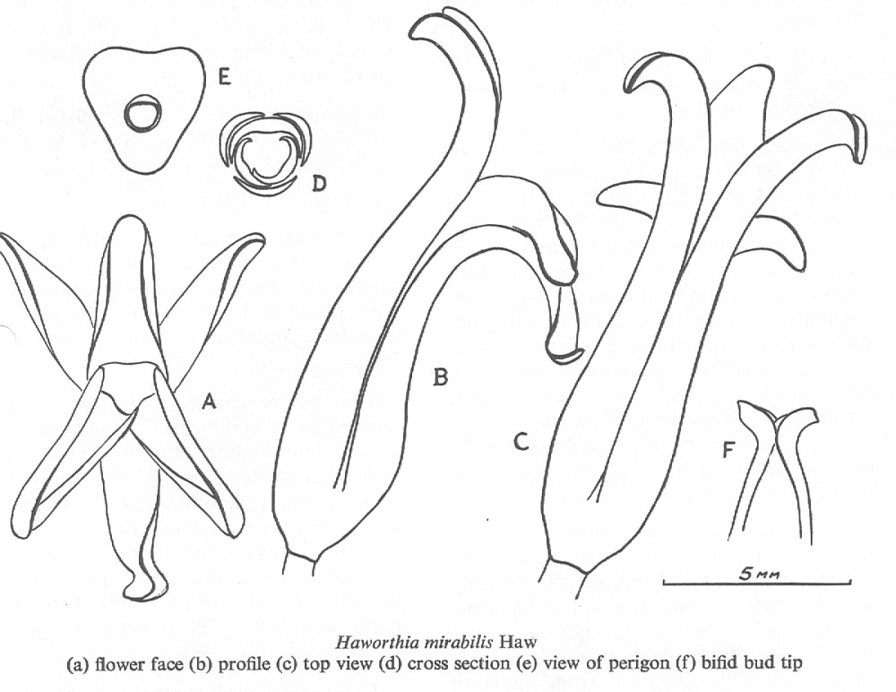 Fig. 1.  Haworthia mirabilis Haw. (a) flower face; (b) profile (c) top view (d) cross section (e) view of perigon (f) bifid bud tip.