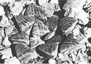Fig.11. non Haworthia emelyae v. Poelln. from Uniondale (KG 164/79).  H. willowmorensis sensu Scott. (H. bayeri)