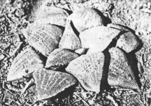 Fig 3. Haworthia emelyae v. Poelln. Also KG 335/70.