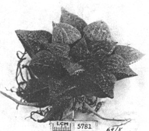 Fig.9. Haworthia emelyae v. Poelln. GGS5781 from between Oudtshoorn and Mossel Bay.
