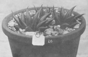 """Fig. 2. Haworthia mirabilis Haw., Fourcade 26, H. nitidula V. Poelln. """"Venter 15/L.768. Type material. Received from Major H. Venter from Worcester, Swellendam, Caledon, Bredasdorp. Agrees with fig. in Desert Plant Life""""."""