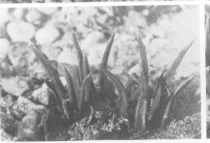"""Fig.4. Haworthia angustifolia """"var. paucifolia"""" Smith from Coombs, Grahamstown, the type locality."""