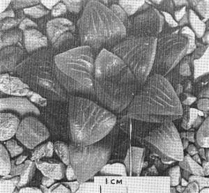 "Fig. 4. GGS 5061 Haworthia mutica Haw. from Swellendam – ""H. retusa var. J. Smith""."