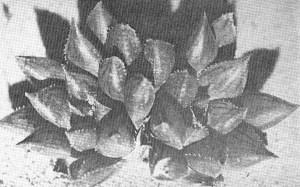 Fig. 4. Haworthia maculata (vPoelln.) Bayer 164. NW Brandvlei Dam.