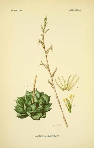 H. cuspida - Addisonia, vol. 23 t. 741 (1954-1959) [M.E. Eaton] 162903