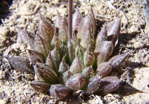 20. 6815.2 H. maculata. Audensberg.