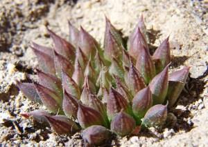 20. 6815.3 H. maculata.  Audensberg.