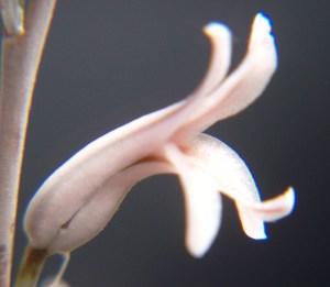 20. 6815.5 H. maculata.  Audensberg.