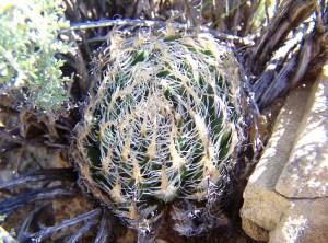 23. MBBsn. H. arachnoidea var scabrispina. Koup.