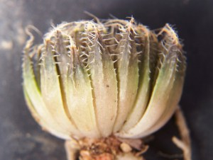 4. EA1443.2 H. arachnoidea. Nuwerus.
