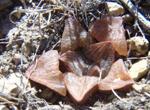 4. MBB7507.5 H. magnifica var splendens 'fusca'. Paulsfontein.