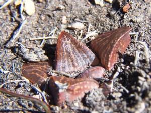 4. MBB7507.9 H. magnifica var splendens 'fusca'. Paulsfontein.