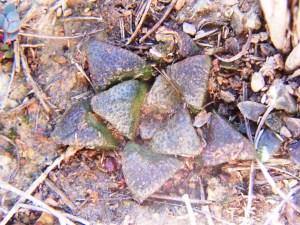Fig. 23 7713 H. mirabilis  'atrofusca'. Uitvlugt W.