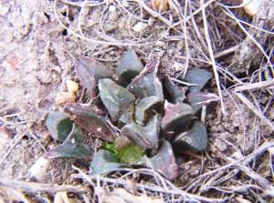 Fig. 25 7714 H. mirabilis 'atrofusca'. Uitvlugt E.
