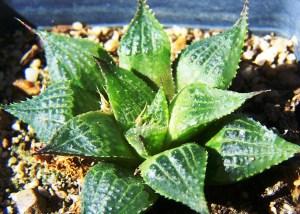 Fig. 2b. MBB7374 H. mirabilis (pilosa). Buffelsfontein, De Hoop.