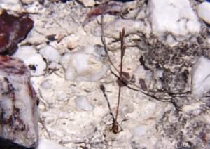 Fig. 3c. MBB7487.3 H. floribunda. Byeneskop.