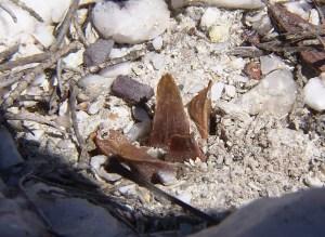 Fig. 3d. MBB7487.4 H. floribunda. Byeneskop.