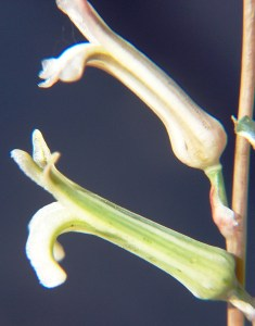 Fig. 4. Flowers of sg Hexangulares.
