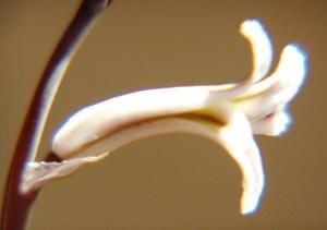 Fig. 4b. MBB7492.2 H. floribunda. Klipfontein