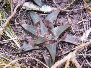 Fig. 9b. MBB7500.2 H. mirabilis-magnifica. Die Kop.