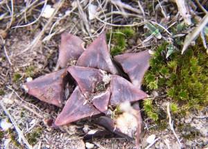 Fig. 9c. MBB7500.3 H. mirabilis-magnifica. Die Kop.