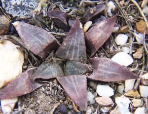 Fig. 9g. MBB7500.6 H. mirabilis-magnifica. Die Kop.