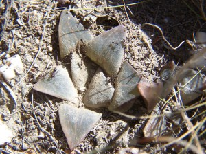 Fig. 9t. MBB7500.19 H. mirabilis. Die Kop E.