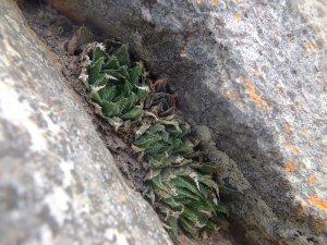 10.15 7995 H. herbacea, S Brandvlei Brickfield