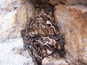 12.1 7865 H. cf. arachnoidea.  Keurkloof, SE Dedooorns 001
